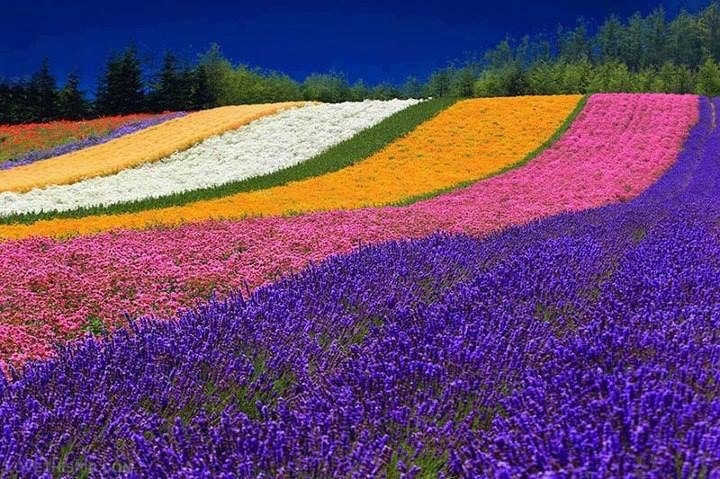 14018-Colorful-Rainbow-Field-Of-Flowers