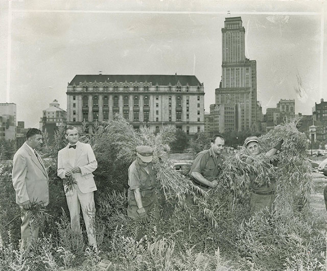 New York City sanitation works cut and collected 41,000 pounds of weed from vacant lots across the city in the summer of 1951, which was incinerated in Woodside, Queens, much to the disappointment of tokers everywhere. Photo: Brooklyn Public Library/Brooklyn Eagle archive