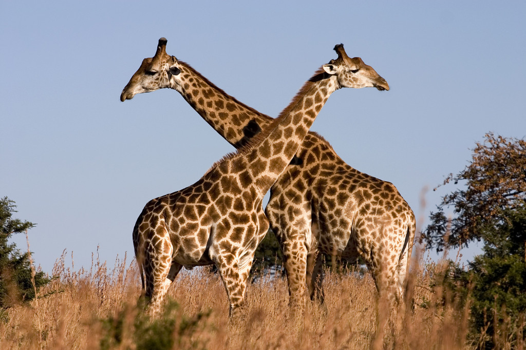 The New York Times schooled on an giraffes this month. Photo:  Luca Galuzzi via Wikimedia