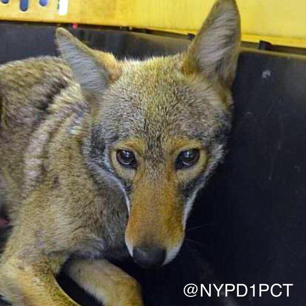 The Battery Park coyote was captured by NYPD, who tweeted this photo.