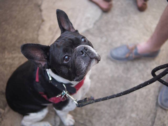 Celebrate these adorable little aliens at By Brooklyn's Fourth Annual French Bulldog Party on Saturday. Photo: By Brooklyn