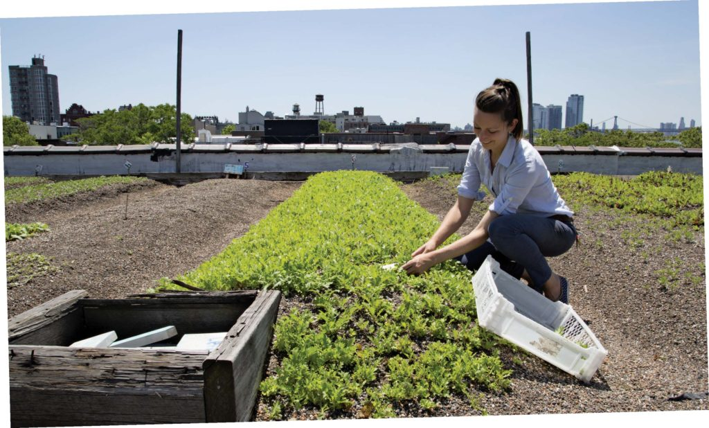 Annie Novack cuts greens on her rooftop farm in Greenpoint. Photo: Naima Green