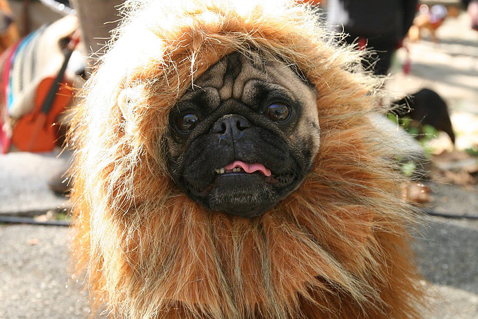 A pug dressed as the Cowardly Lion--what could be more fitting for the season? Photo: Fort Greene PUPS
