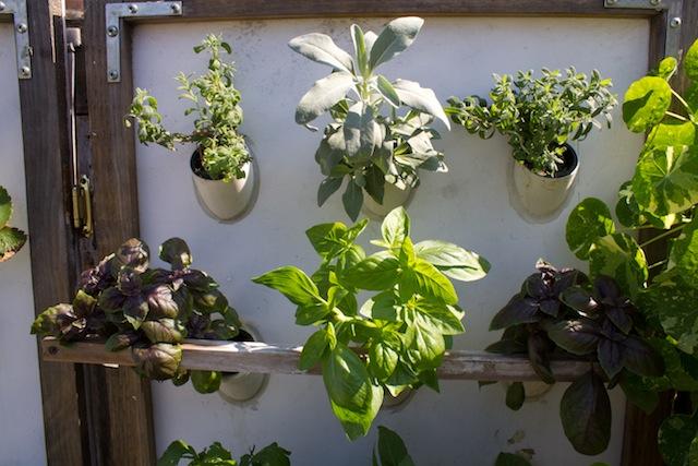 Basil, and other herbs, growing at Boswyck Farms. Photo: Nadia Chaudhury