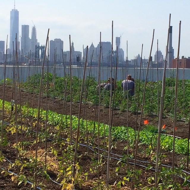 brooklyn-grange-rooftop-tomatoes-2479924