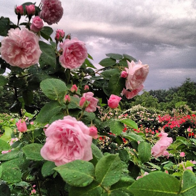 Learn about how roses and other flowers are used to make food at MSG's Floral Flavors talk on Tuesday. Photo: Brooklyn Botanic Gardens