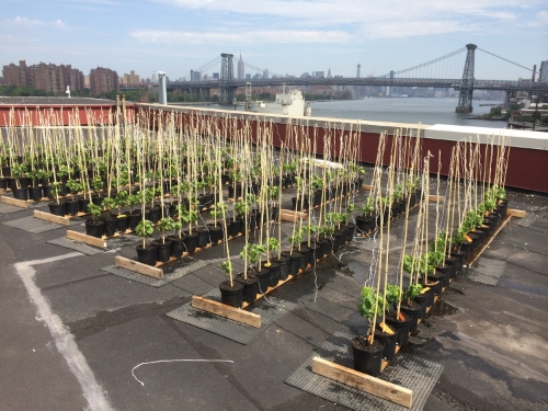 Brooklyn's first commercially viable rooftop vineyard is throwing a launch party and pig roast at King's County Distillery on Wednesday night. Photo: Rooftop Reds