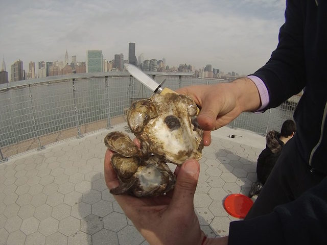 Learn everything you ever wanted to know about oysters, and the efforts to bring them back to NYC waterways, at Brooklyn Grange on Tuesday. Photo: Billion Oyster Project