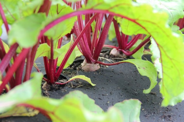 Perfectly spaced beets, something I couldn't accomplish on my own, growing from a Seedsheet. Photo: Cloudfarm